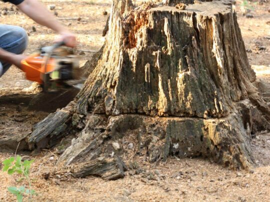 Stump Removal-Auburndale FL Tree Trimming and Stump Grinding Services-We Offer Tree Trimming Services, Tree Removal, Tree Pruning, Tree Cutting, Residential and Commercial Tree Trimming Services, Storm Damage, Emergency Tree Removal, Land Clearing, Tree Companies, Tree Care Service, Stump Grinding, and we're the Best Tree Trimming Company Near You Guaranteed!